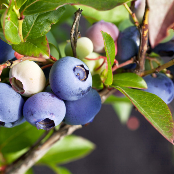 Certified Organic Blueberry Plant Jersey