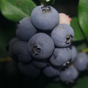 Certified Organic Blueberry Plant Toro