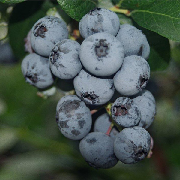 Certified Organic Blueberry Plant Duke