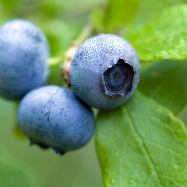Certified Organic Blueberry Plant Blue Jay