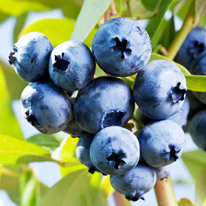 Certified Organic Blueberry Plant Chandler