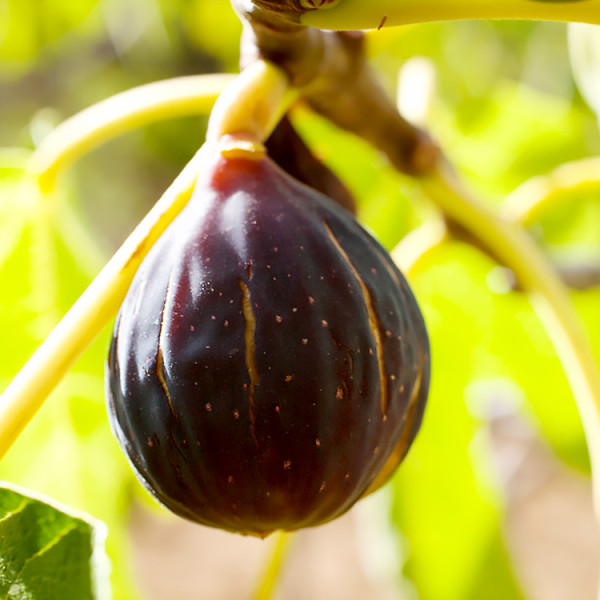 Certified Organic Fig Tree Chicago Hardy