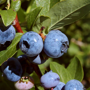 Certified Organic Blueberry Plant Blue Ray